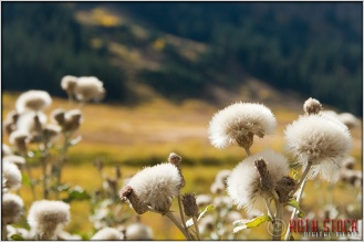 Dandelions Near Crested Butte, Colorado