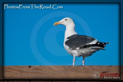Seagulls at the Santa Monica Pier